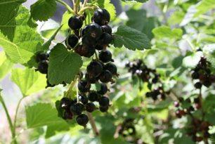 Juodųjų serbentų derliui lietuviška vasara buvo į naudą